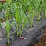 【農園プロジェクト2014】とうもろこし 2014.06.14