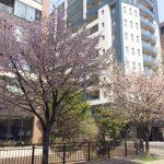 ◆桜前線◆油断大敵!桜前線はすでに札幌を通り過ぎてしまった模様