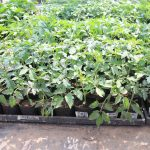 いきいきファーム 2016年 5月◆サツマイモの定植を体験してきました◆