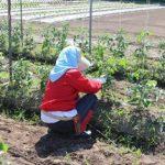 いきいきファーム 2016年 6月◆圃場の野菜は元気に成長していました◆