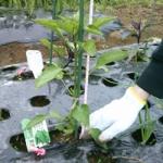 【農園プロジェクト2014】ししとう 2014.06.21
