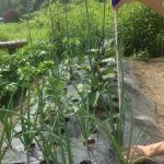 【農園プロジェクト2014】たまねぎ 2014.07.05