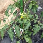 【農園プロジェクト2014】トマト 2014.06.07