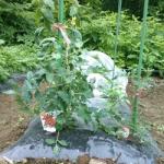 【農園プロジェクト2014】トマト 2014.06.21