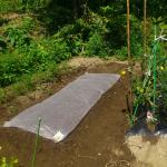 【農園プロジェクト2014】かぶ 2014.08.30