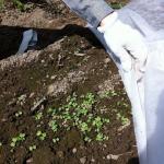 【農園プロジェクト2014】かぶ 2014.09.06