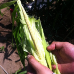 【農園プロジェクト2014】とうもろこし 2014.08.02