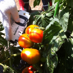 【農園プロジェクト2014】トマト 2014.08.02