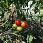 【農園プロジェクト2014】トマト 2014.08.16