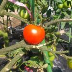 【農園プロジェクト2014】トマト 2014.08.30
