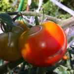 【農園プロジェクト2014】トマト 2014.09.06