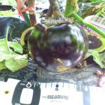 【農園プロジェクト2014】なす 2014.08.09