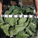 【農園プロジェクト2014】キャベツ 2014.08.16