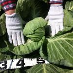 【農園プロジェクト2014】キャベツ 2014.08.02