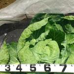 【農園プロジェクト2014】キャベツ 2014.08.09