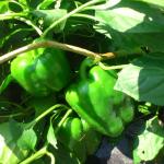 【農園プロジェクト2014】ピーマン 2014.08.09