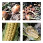 【農園プロジェクト2014】北海道フードマイスターの独り言 2014.08.19