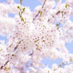 2019年 5月 4日~5月5日 優駿の里 浦河 第52回 桜祭り