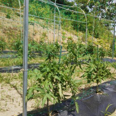 ソパージュ栽培
